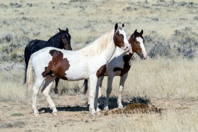Caballos Mustang historia