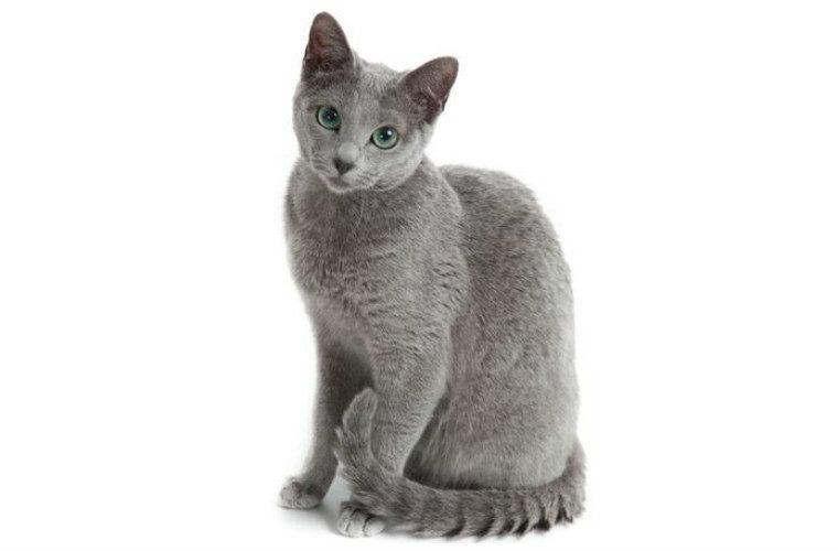 Las razas de gatos mas inteligentes