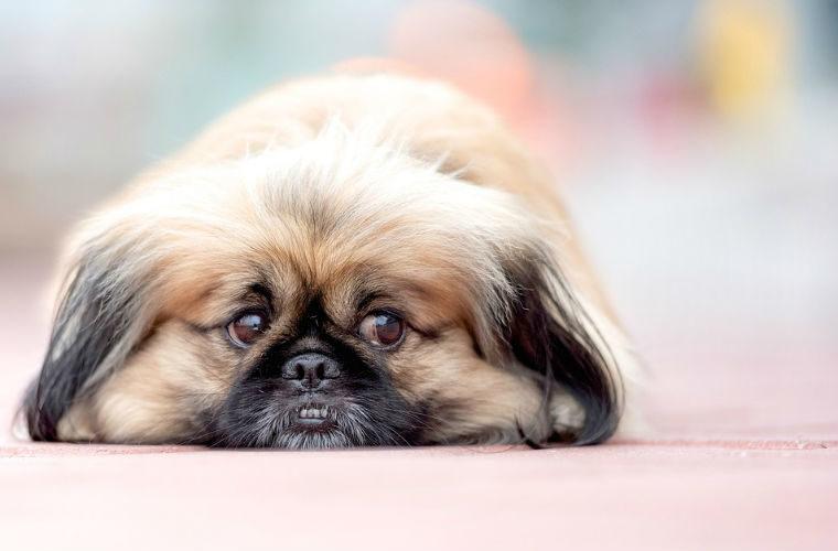 Las razas de perros mas perezosas