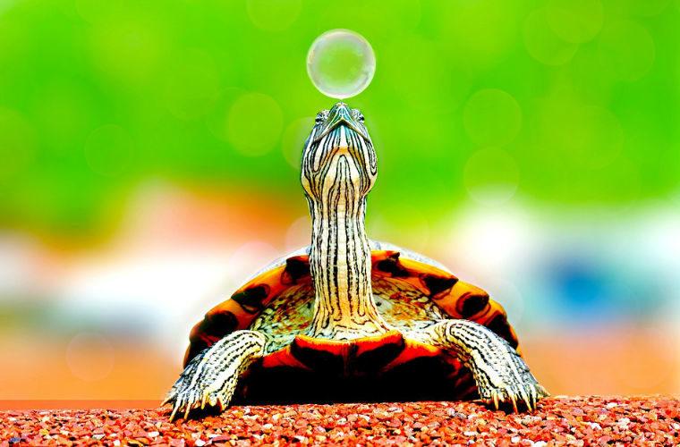 Tortugas de agua y tortugas de tierra